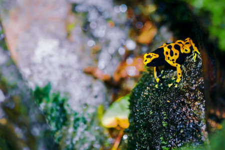 yellow and black poison dart frog: Yellow-headed poison dart frog in its natural habitat
