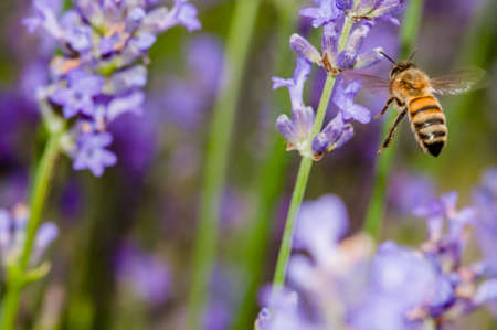 pollination: Honey bee visiting the lavender flowers and collecting pollen close up pollination
