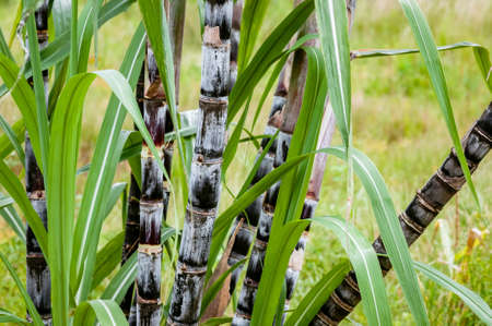 Sugar cane plant closeup tropical climate plantation agricultural crop organic raw growth horizontal