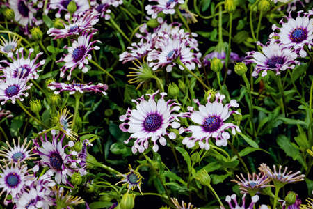 Osteospermum Whirlygig African daisy shaped flower purple white