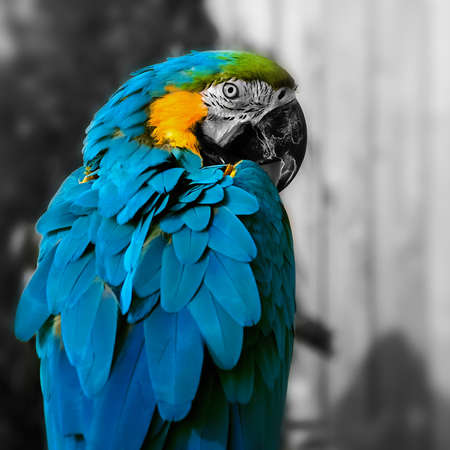A close up portrait of macaw parrot in a square composition