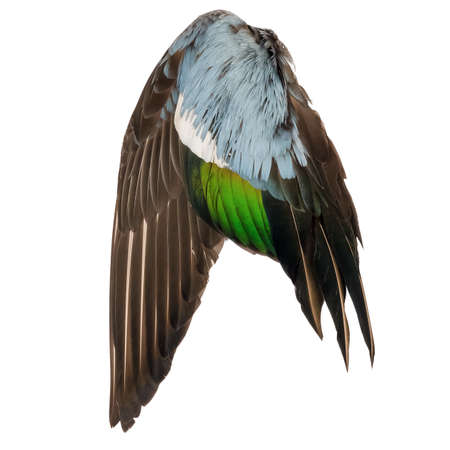 Real wild duck bird wing angel brown grey green blue white background