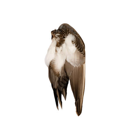 Real wild duck bird wing angel brown white background