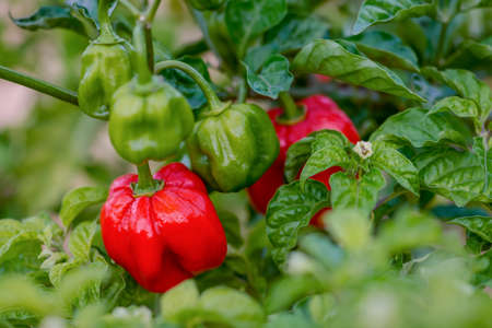 Red ripe scotch bonnet hot spicy pepper plant gardening raw food spice Stock Photo