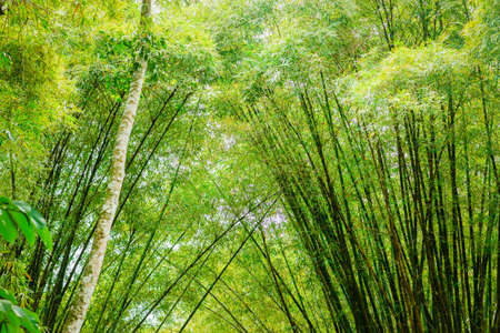 indies: Tropical bamboo forest in Trinidad and Tobago Stock Photo
