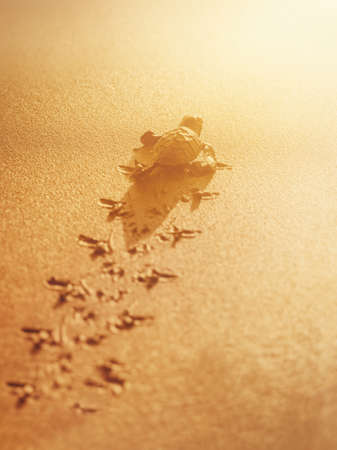 Baby leatherback sea turtle traveling towards the sunlight on the beach Trinidad and Tobago Stock Photo