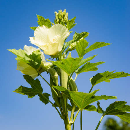 Okra plant and flower in bloom against blue sky organic produce agriculture square composition 免版税图像