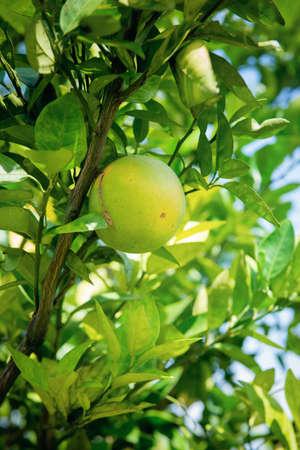 Caribbean green orange hanging on the tree. Juicy and sweet tropical citrus fruit. Banco de Imagens