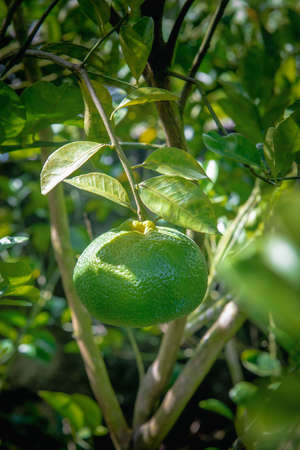 Caribbean green sweet tangerine fruit hanging on the tree.