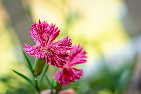 botanical botany flower nature carnation sequiers pink flower blooming garden Imagens