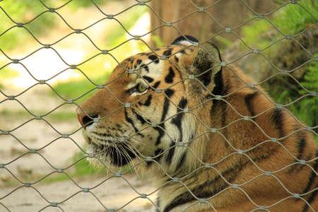 tigre: tigre nella gabbia