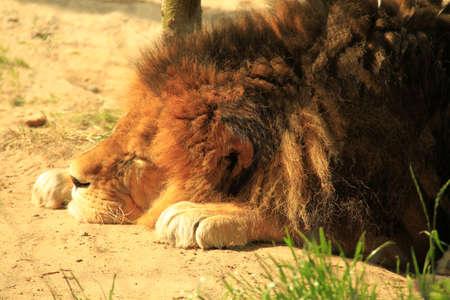 mammalian: lion Stock Photo