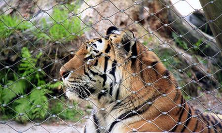 mammalian: Bengal tiger Stock Photo