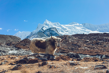 Vew of Himalaya mountain with Yak. Way to Everest base camp, Khumbu valley, Sagarmatha national park.