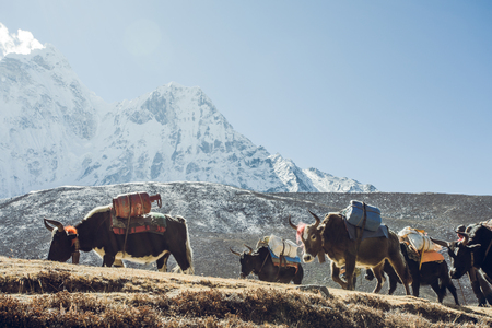 Valley of Himalayan Mountains on the track to base camp of Everest. High-mountain yaks with cargo go along the path against the background of snow-capped peaks. Khumbu valley, Sagarmatha, Nepal.