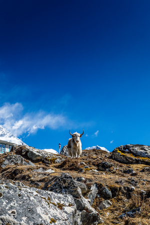 Yak on Himalayan mountain trek to Everest base camp
