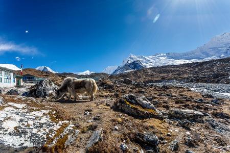 エベレストのベース キャンプにヒマラヤ山トレッキングのヤクします。 写真素材