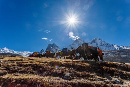 エベレストのベース キャンプにヒマラヤ山トレッキングのヤクします。 報道画像