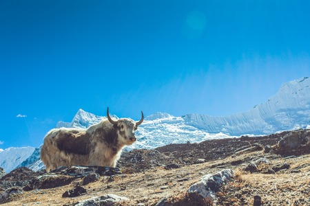 Yak on Himalayan mountain trek to Everest base camp