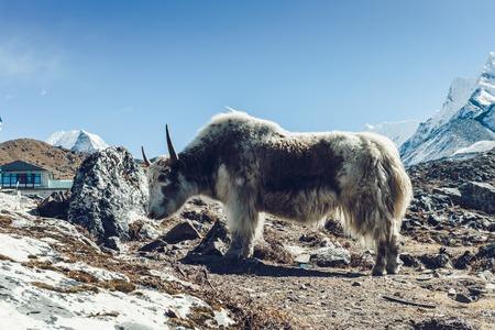 히말라야 산악 야크, 에베레스트베이스 캠프까지 트레킹 스톡 콘텐츠