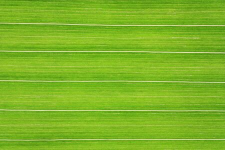 Detailed view of the corn leaf