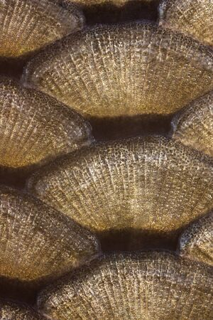escamas de peces: vista detallada de las escamas de los peces