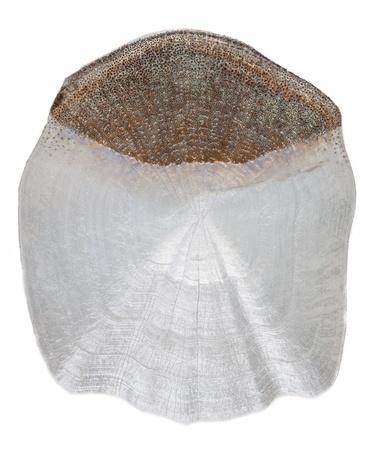scale carp isolated on white background Stock Photo