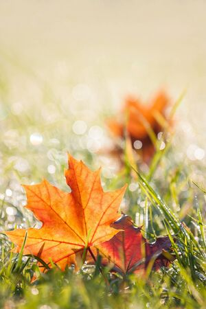 autumn maple leaves in the dewy grass photo
