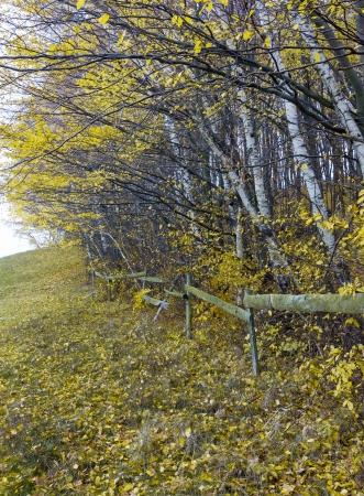 fence in autumn birch grove