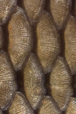 escamas de peces: Textura detallada de las escamas de los peces Foto de archivo