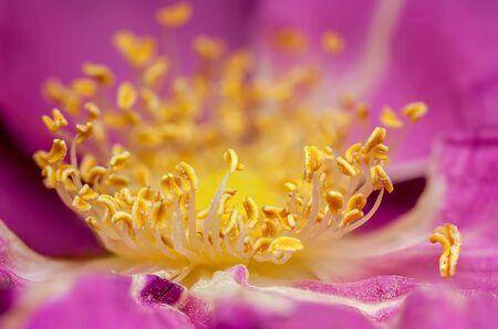 color detail pollen sticks roses
