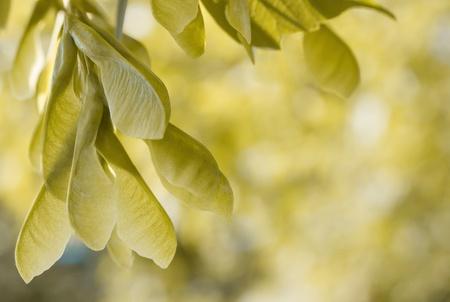 aceraceae: Maple winged seeds - acer negundo