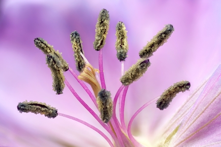 detailed view of the pollen Geranium Stock Photo