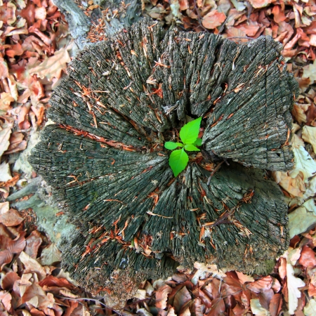ecosavy: Young tree seedling grow from old stump