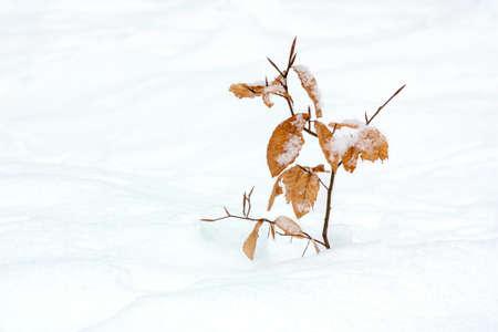 snow drift: lonely little beech in snow drift