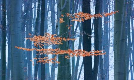last leaves in winter beech forest