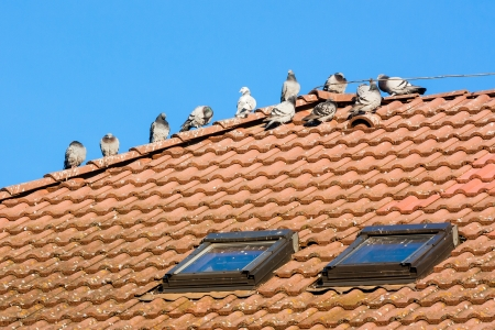 droppings: pigeons on the roof and their droppings