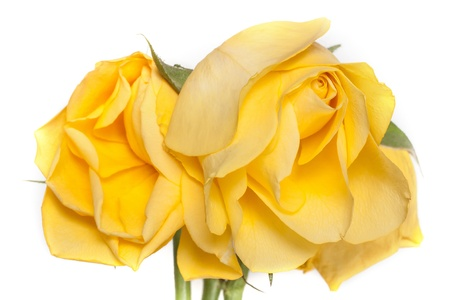 wilted yellow rose on a white background Stock Photo