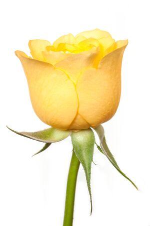 rosas amarillas: Hermosa rosa amarilla aislada en el fondo blanco