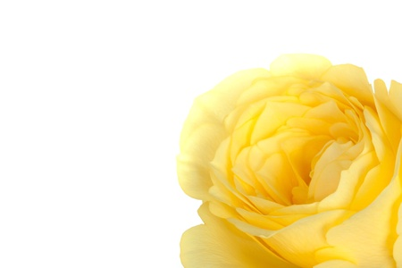 yellow rose petals on white background