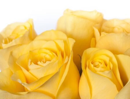 group of yellow rose with white background photo