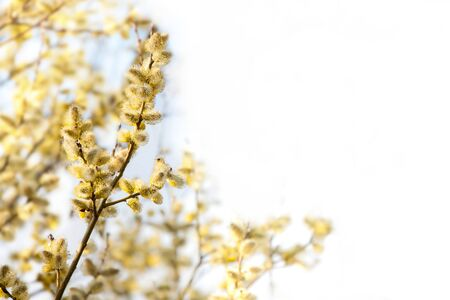 Spring branch of blossoming catkins Stock Photo