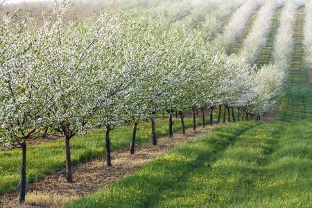 long line of fruit trees Stock Photo