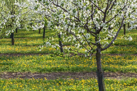 blossoming apple tree in yellow green meadow photo
