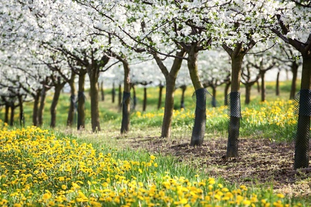view of spring flowering orchard Stock Photo