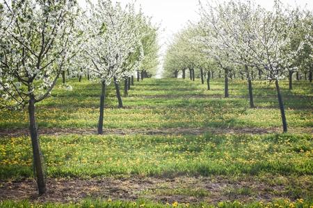white flowers of fruit trees