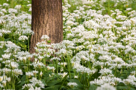 white flowering wild garlic with green leaves Stock Photo