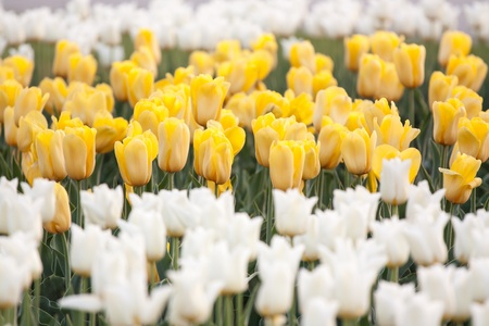 massif de fleurs: lit de fleurs d�coratif de tulipes jaunes et blanches