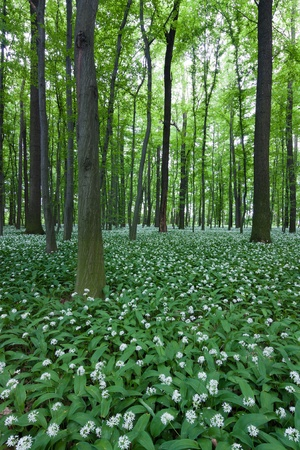 blooming wild garlic in the woods Stock Photo