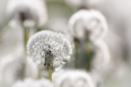 lightness: lightness of white fluff of dandelions Stock Photo